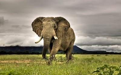 Jedna z ukrytych tapet w Windows 7 - afrykański słoń