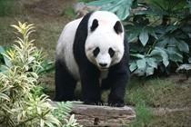 Panda wielka (fot.: J. Patrick Fischer)