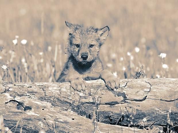 Gra o tron: przygarnięte małe wilkory dopiero po długich czasie okazały się poważnym zagrożeniem.