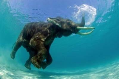 copyright Nurkujący słoń indyjski, Jeff Yonover, USA